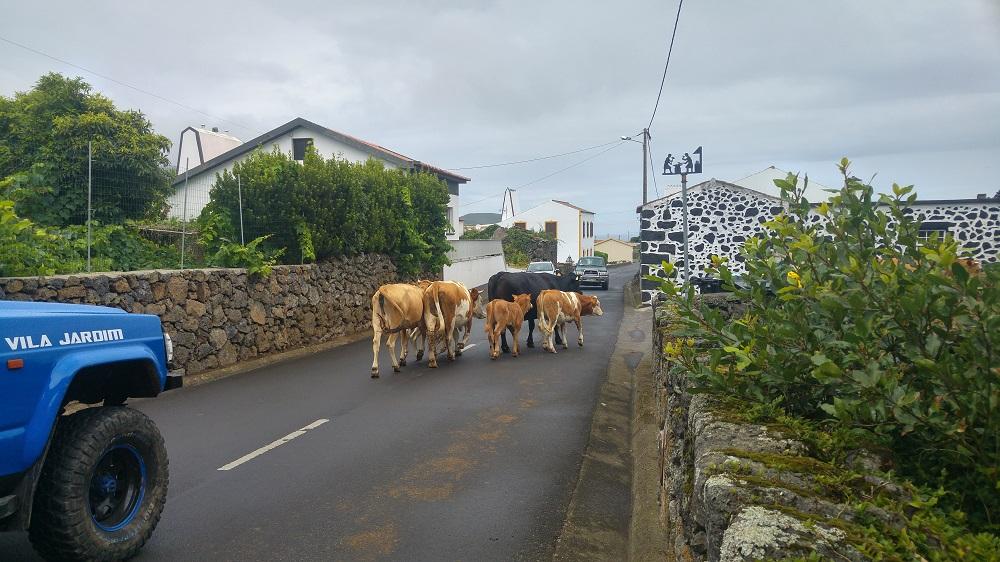 Des vaches nous bloquent la route à Graciosa.