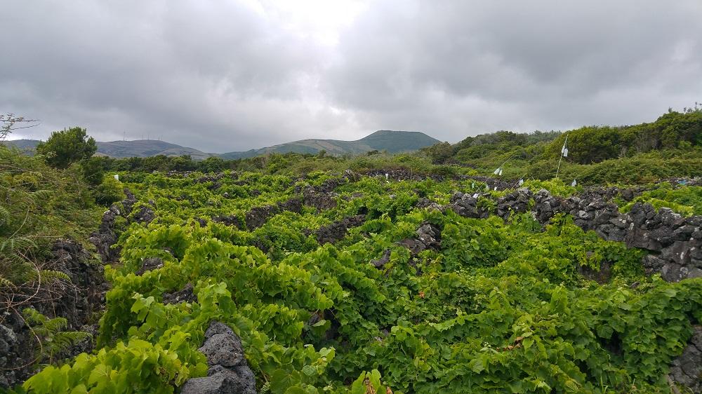 Paysage viticole typique des Açores, avec ces murs de pierres permettant de protéger les plantation du vent.